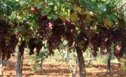مستوطنون يعدمون 700 شجرة كرمة في الخليل
