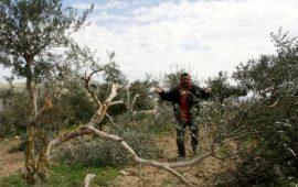 المستوطنون يحطمون عشرات الأشجار في حوارة