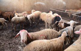 للعام الثامن عشر على التوالي: لجنة الزكاة في الناصرة تنفذ مشروع الأضاحي وتوزع نحو 5أطنان من اللحوم على أكثر من 600 عائلة مستورة
