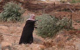 إعدام أشجار زيتون