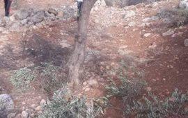 الاحتلال يقتلع 60 شجرة زيتون من أراضي قرية جبع