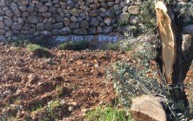 الاحتلال يقطع عشرات أشجار الزيتون في سلفيت