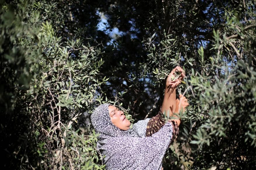 إطلاق حملة وطنية لقطف ثمار الزيتون في الضفة الغربية