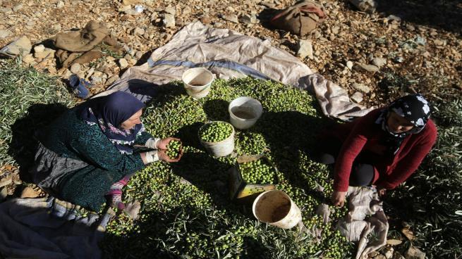 Photo of أهالي ريف إدلب الجنوبي يجنون محصول الزيتون رغم القصف والغارات الجوية
