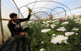 زراعة الورد في غزة تحتضر بسبب الحصار