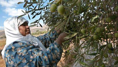 Photo of موسم قطف الزيتون بالضفة.. جهود مضنية للحفاظ على الأرض
