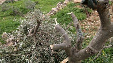 Photo of مستوطنون يسرقون معدات قطف الزيتون جنوب نابلس
